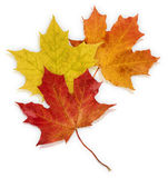Basic_Autumn_Leaves. Isolated Red, Yellow and Orange Maple leaves on white background Royalty Free Stock Photos