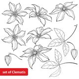 Vector set with outline Clematis or Traveller`s joy ornate flower, bud and leaves in black isolated on white background. Contour climbing liana Clematis for vector illustration