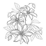 Vector bouquet with outline Clematis or Traveller`s joy ornate flower bunch, bud and leaves in black isolated on white background. Contour climbing liana vector illustration