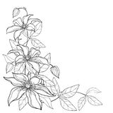 Vector corner bouquet with outline Clematis or Traveller`s joy ornate flower bunch, bud and leaves in black isolated on white. Vector corner bouquet with royalty free illustration