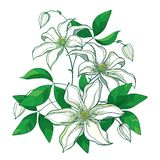 Vector bouquet with outline pastel white Clematis or Traveller`s joy ornate flower bunch, bud and green leaves isolated on white. Vector bouquet with outline vector illustration