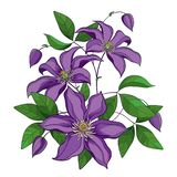 Vector bouquet with outline purple Clematis or Traveller`s joy ornate flower bunch, bud and green leaves isolated on white. Vector bouquet with outline purple stock illustration