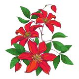 Vector bouquet with outline red Clematis or Traveller`s joy ornate flower bunch, bud and green leaves isolated on white. Vector bouquet with outline red vector illustration