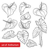 Vector set of outline tropical Anthurium or Anturium flower bunch and leaves in black isolated on white background. stock images