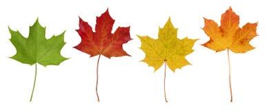 Basic_Maple_Leaves Royaltyfria Foton