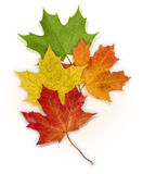 Basic_Maple_Leaves. Isolated Green, Red, Yellow and Orange Maple leaves on white background Stock Photos