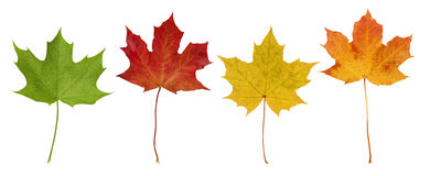 Basic_Maple_Leaves. Isolated Green, Red, Yellow and Orange Maple leaves on white background Royalty Free Stock Photos