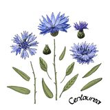Vector garden flowers. Blue cornflower Centaurea. Vector garden flowers. Blue flowering cornflower Centaurea  with buds, green leaves and stems. Floral vector illustration