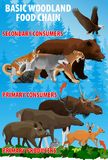 Basic woodland food trophic chain. Forest ecosystem energy flow. Vector illustration. Basic green forest woodland food trophic chain. Forest ecosystem energy Stock Photography