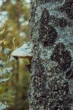 Basidiomycota mushroom growing on the tree Stock Photography