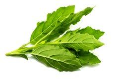 Basilów liście, biały tło Obraz Royalty Free