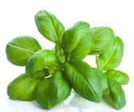 Basilów liście   Fotografia Stock