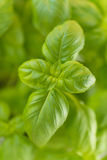 Basilów liście Obrazy Stock