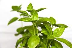 Basilów liście Obraz Stock