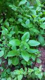 Basilów liście Zdjęcie Royalty Free