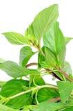Basilów ziele. Obraz Royalty Free