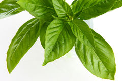 Basil. Very fresh basil in white background Royalty Free Stock Images