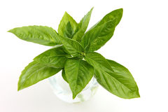 Basil. Very fresh basil in white background Royalty Free Stock Photos
