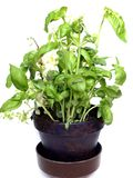 Basil. A basil plant in a pot on white background Stock Photo