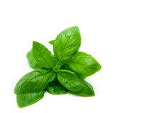 Free Basil Royalty Free Stock Photography - 14264937