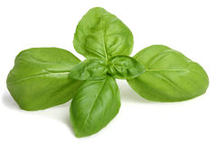Basil. Isolated a white background Stock Images
