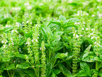 Basil Royalty Free Stock Photos