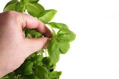 Basil Stock Image