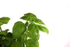 Basil. Green basil on white background stock photography