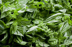 Basil. Close up shot of a bushel of basil Royalty Free Stock Images