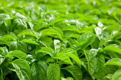 Basil. Plants at an organic commercial farm Royalty Free Stock Photo
