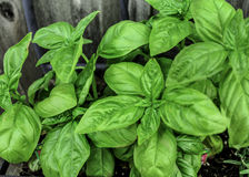 Basil Photo stock