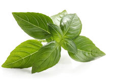 Basil. Sprig, reflected on white surface.  Close-up view of this delicious herb Royalty Free Stock Photo