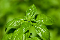 Basil Photographie stock