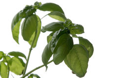 Basil. On a white background Stock Photography