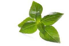 Basil. Fresh-picked, backlit on white surface Stock Photo