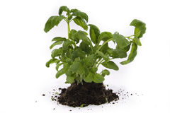 Basil. Green basil  on the white background Stock Photography