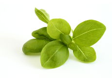 Basil Stock Photos