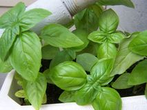 Basil. Fresh home grown basil Royalty Free Stock Photo