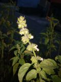 fragrant basil plant royalty free stock images
