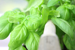 Basil. As herbs in a kitchen Royalty Free Stock Photo