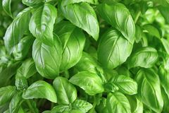Basil background Royalty Free Stock Photos
