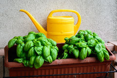 Basil in the balcon Royalty Free Stock Photo