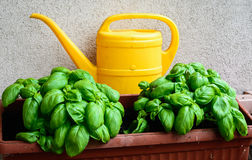 Basil in the balcon Royalty Free Stock Photography