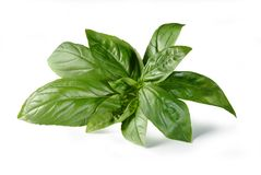 Basil – `Basilico`  on White Background stock images