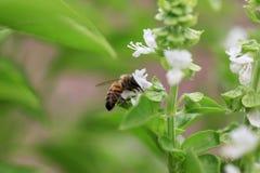 Basil Bee Imágenes de archivo libres de regalías