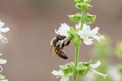 Basil Bee Foto de Stock