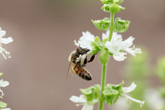 Basil Bee Stock Photo