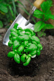 Basil being transplanted into the herb garden Stock Image