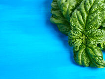 Basil on blue Stock Photos