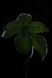 Basil. A basil branch on a fork, painted light royalty free stock images